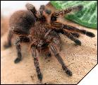 Grammostola rosea Red Color Form самка субадульт