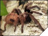 Chilobrachys fimbriatus Самка 4см